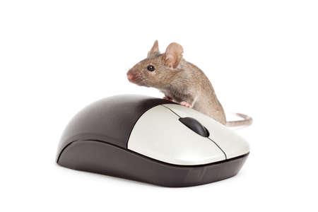 myszy: żywych myszy szary z komputera myszy samodzielnie na biały