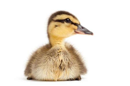anas platyrhynchos: duck isolated on white - Mallard duckling (Anas platyrhynchos) closeup