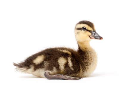 anas platyrhynchos: duck isolated on white - female mallard duckling (Anas platyrhynchos) closeup