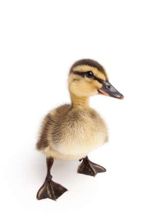 anas platyrhynchos: duckling standing isolated on white - yound baby female Mallard duck closeup (Anas platyrhynchos)