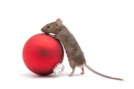 mouse animal: Mouse looking over a red Christmas bauble - isolated on white