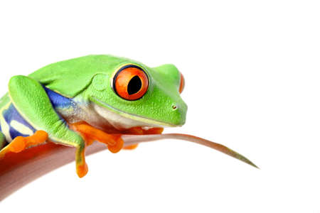 green frog: frog sitting on a leaf looking down - isolated on white Stock Photo