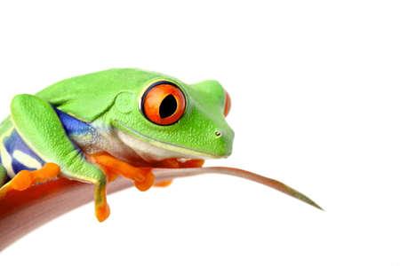 grenouille: Grenouille assis sur une feuille regarde - isolé sur fond blanc