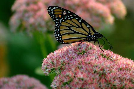 flowering plant: A farfalla monarca Magnoliophyta  Archivio Fotografico