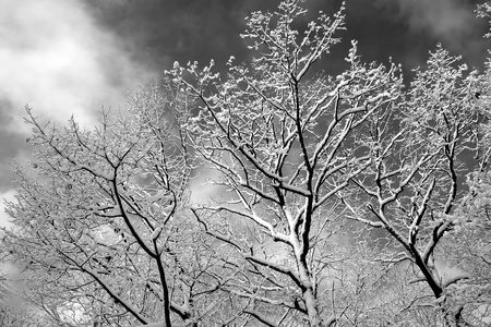 A black and white rendition of snow covered branches against a cloudy winter sky. photo