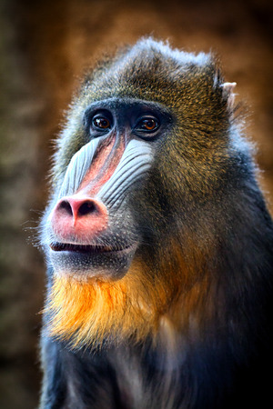 mandrill: Male mandrill at Milwaukee county zoo. Stock Photo