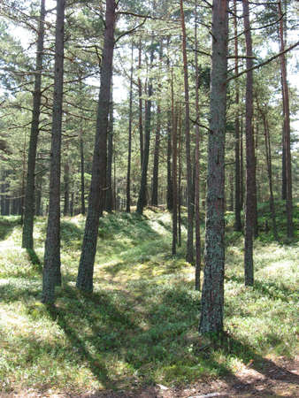 piny: a piny forest