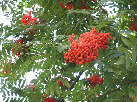 los frutos del árbol rowan  Foto de archivo - 1585113