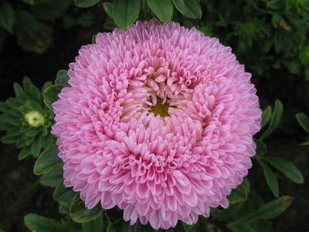 splendid: splendid pink flower