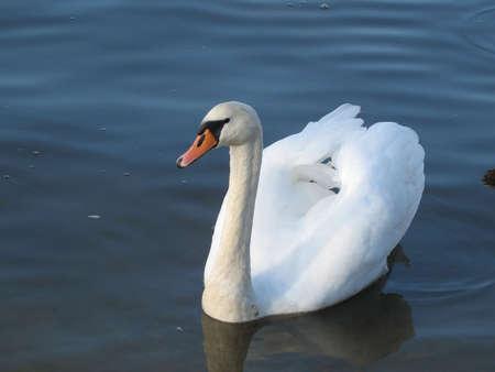 graceful: a graceful swan Stock Photo