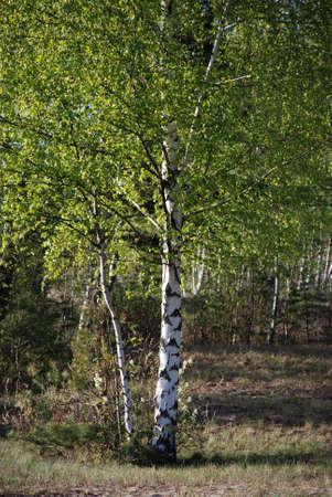 boles: birch