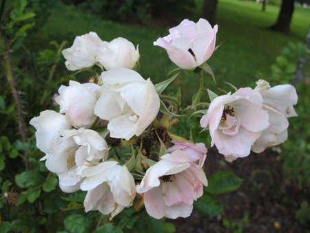 rosebush: rose-bush