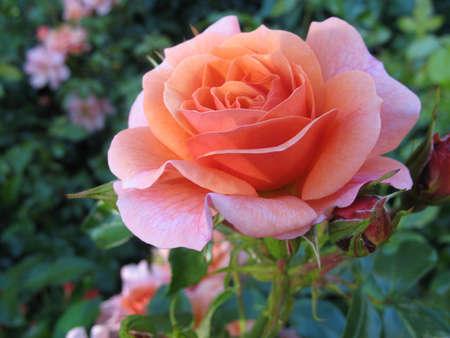 rose-bush: Róża bush