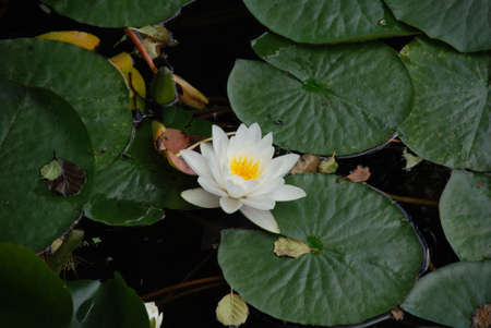 nervation: water-lily