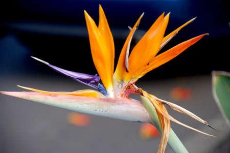 warm climate: warm climate flora: strelicia Stock Photo