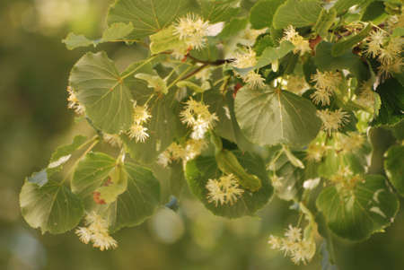 limetree: linden flowers Stock Photo