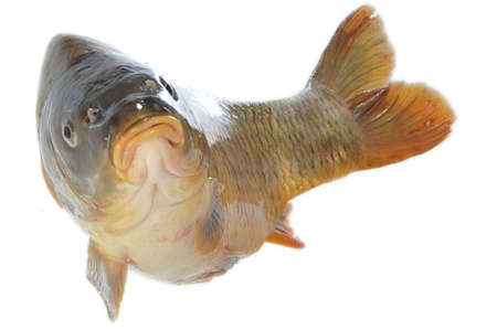 Isolated carp in jump on white background