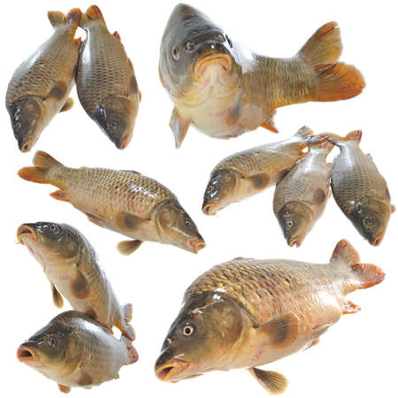 isolated fresh carp on white background
