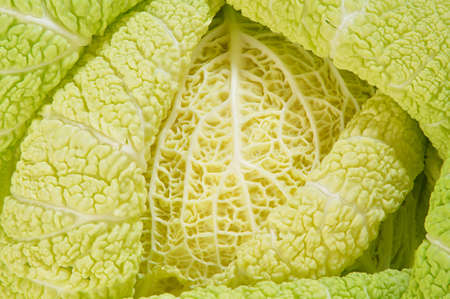 Nature Bends and Branches Of Savoy Cabbage Stock Photo