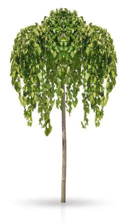 morera: Morera blanca Pendula