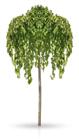 White mulberry Pendula Stock Photo