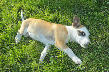 Puppy lying on green grass and looking at the camera Stock Photo
