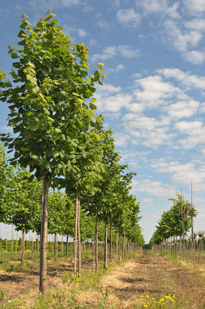 Limes trees lined up at nursery