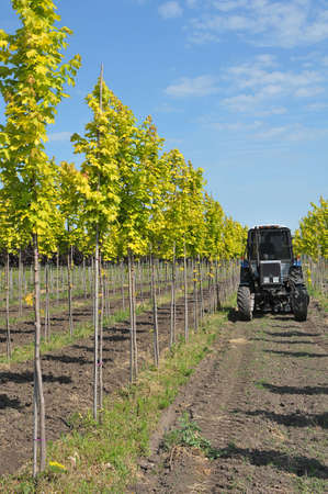Maples trees lined up at nursery Stock fotó
