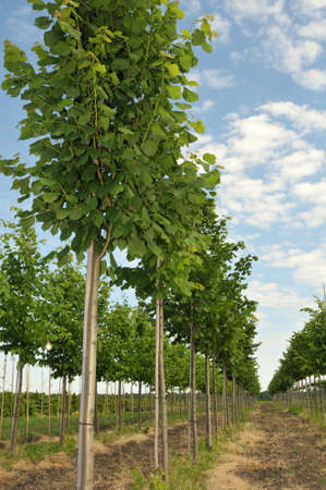 Linden-tree trees lined up at nursery