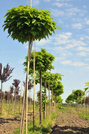 catalpa: catalpa trees lined up at nursery