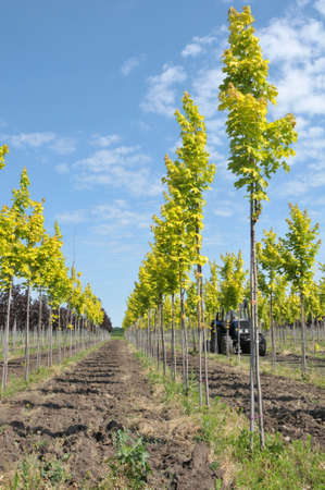 Maples trees lined up at nursery Stock Photo