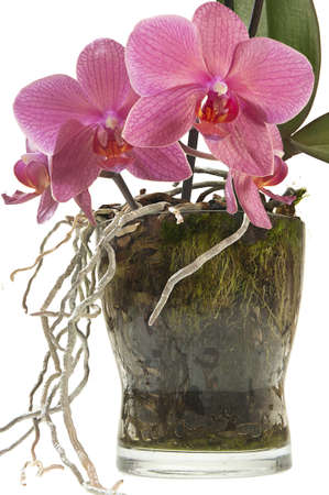 Glass vase for plants whose roots like the sunshine