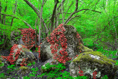 twining: Red leaves twining round the stone