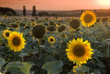 Sunflower field at the beautiful sunset photo