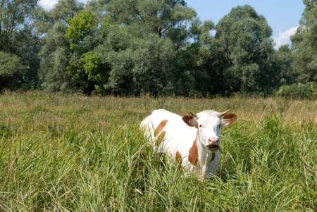 heffer: Cow in the field