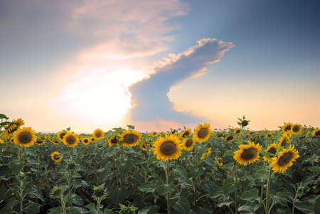 strom: Sunflower field on a background of stormy clouds
