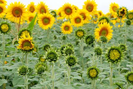 Farmland field of beautiful sunflowers photo