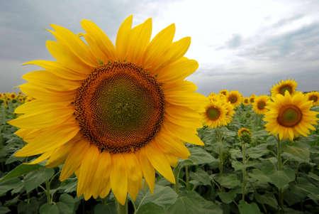 Field full of yellow sunflowers photo