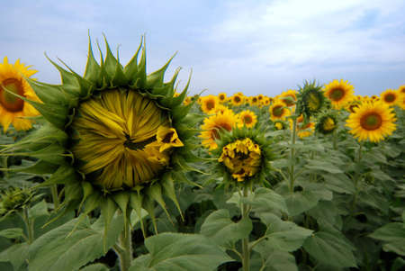 Close-up view of sunflowers photo