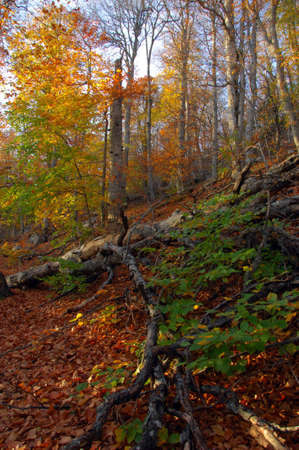 Autumn forest with view of old beech