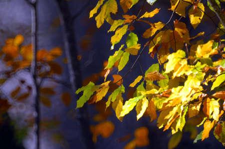 Autumn leaves of beech tree