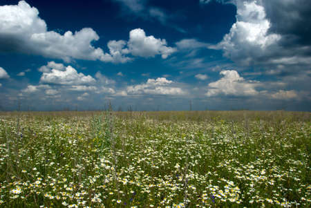 Camomile field with clouds