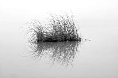 Grass bush mirroring in a water