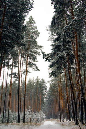Winter landscape with pine trees covered by snow