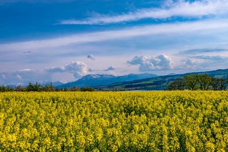 Rapeseed field Banque d'images