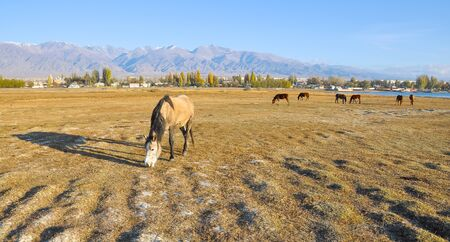 issyk kul: Horses on the autumn meadow by the lake.