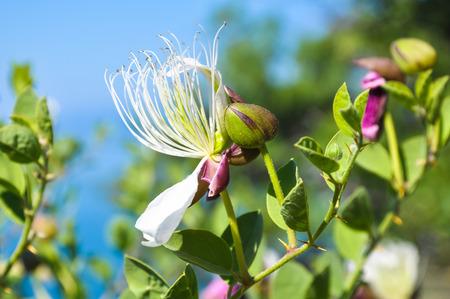 caper: Flowering bush caper on the coast of Crimea.