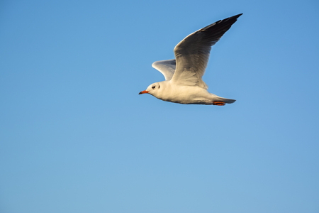 Seagull flying isolated on blue sky background.
