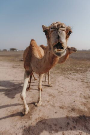 Two camels stand in the desert under the rays of the sun in Dubai Banque d'images - 129316571