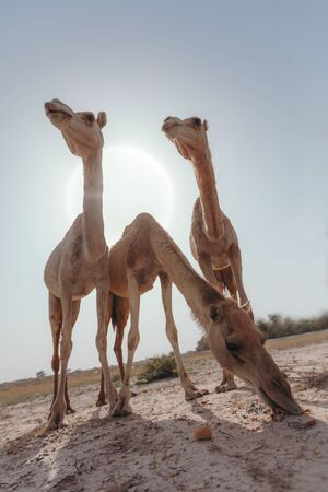 Three camels stand in the desert under the rays of the sun in Dubai Banque d'images - 129316579